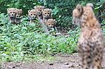 Foto: VidiPhoto<br /> <br /> ARNHEM - Veel zin hadden de zes cheeta's van Burgers' Zoo er niet in, maar na enkele uren wachten waren de diertjes vrijdag dan toch voor het eerst te zien voor de bezoekers van de Arnhemse dierentuin. De in mei geboren zesling werd vrijdag voor het eerst aan de dierenparkbezoekers gepresenteerd, maar het duurde behoorlijk lang voordat ze aan hun nieuwe verblijf en de nieuwsgierige blikken gewend waren. Burgers' heeft de zesling lang achter de schermen gehouden om te voorkomen dat verstoring van de kraamtijd zou leiden tot de dood van de jongen. Een cheetazesling is namelijk volstrekt uniek. Omdat cheeta's solitaire roofdieren zijn, is fokken met deze diersoort sowieso enorm lastig.