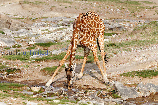 Masai Giraffe bending to drink from stream, Masai Mara, Kenya