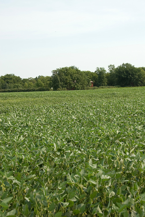 Minnesota agriculture: corn and soybeans are the two main crops of Southern Minnesota.  Field of soybeans..Photo mnqual331-75085..Photo copyright Lee Foster, www.fostertravel.com, 510-549-2202, lee@fostertravel.com.