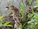 A mother Mallard Duck displays her displeasure at the photographer's proximity to her offspring.