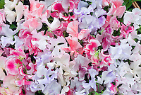 Sweetpeas 'Harlequin Mixed' Lathyrus odoratus variety of colors, stripes, white, pink, red, lavender, purple, blue