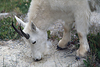 Mountain Goat (Oreamnos americanus), aka Rocky Mountain Goats, licking Salt at Mineral Lick, Yoho National Park, BC, British Columbia, Canada