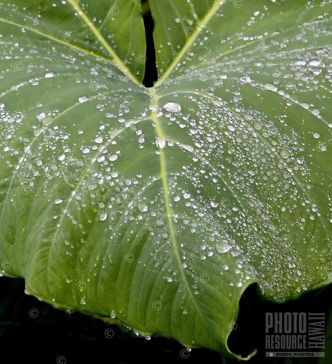 "Ape leaf (xanthosoma robustum,""""elephant ear""""), with rain droplets"