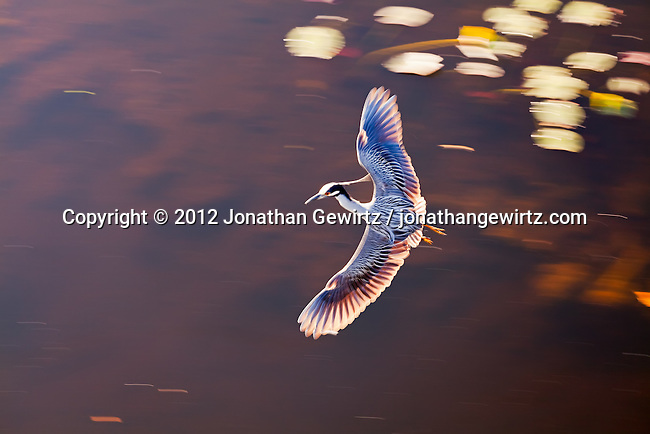 A Yellow-crowned Night Heron (Nyctanassa violacea) flying over a pond in the Shark Valley section of Everglades National Park, Florida.