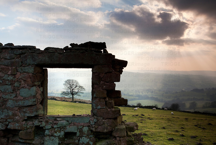 Derelict building with tree framed by old window. The Roaches, Peak District, England