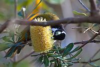 Blue Faced Honeyeater, Yuragir NP, NSW, Australia