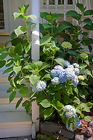 Blue hydrangea macrophylla flowers next to front porch stair post, summer flowering shrub in bloom