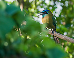 Blue-crowned motmot, Momotus momota, in the gardens of the Hotel Bougainvillea, San Jose, Costa Rica