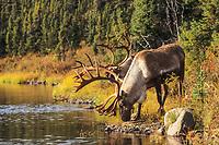 Bull Caribou drink from the waters of Wonder lake, Denali National Park, Alaska