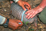 Measuring Armadillo