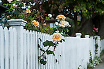 Roses growing through white picket fence