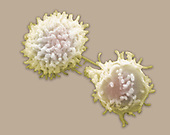 Lymphocyte white blood cells ,leukocytes,. The most common lymphocytes are B lymphocytes and T lymphocytes. B lymphocytes produce antibodies. T lymphocytes include inflammatory t cells, cytotoxic t lymphocytes, and helper t cells.  SEM X8000.  **On Page Credit Required**