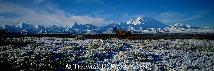 As the first bite of winter takes over Denali National Park, Alaska, a moose, though well-equipped for Arctic winters, continues on his way to the protection of an evergreen forest at the base of Mt. McKinley.
