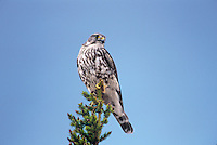 559312015 wild female merlin falco columbarius perched in a tall fir tree near whitefish lake in the northwest territories of canada