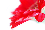 Close up of red gerbera daisy against white background.