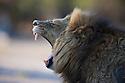 Botswana, Okavango Delta, Moremi; male lion yawning
