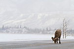 A bighorn sheep licks the salt from the asphalt on the road during a light snowfall.