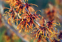 Hamamelis x intermedia Jelena aka Copper Beauty Witch hazel in late winter / early spring bloom