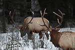 Two bull elk face off in Banff National Park, Alberta, Canada while grazing on branches in the snow, creating a feeling of tension in the air.
