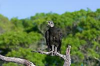 591000024 Black Vulture Coragyps atratus Adult WILD.Texas Hill Country, Texas