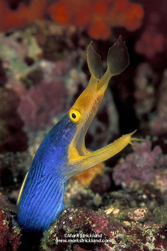 Reminiscent of a dragon emerging from its lair, a male Ribbon Eel, Rhinomuraena quaesita, peers from a crevice. This species is a protandrous hermaphrodite, meaning that males change into females. Juveniles are black with yellow trim, adult males are neon blue w/ yellow; females, which are uncommon, are entirely yellow.  Lembeh Straight, N. Sulawesi, Indonesia, Pacific Ocean