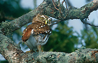 563990028 a wild ferruginous pygmy owl glassidium brasilianum perches in a large tree on a private ranch in the rio grande valley of south texas