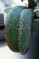 Brown scale insects pest (Coccus hesperidium) on Phalaenopsis orchid leaf