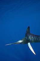 qf1422-D. Striped Marlin (Tetrapturus audax). Baja, Mexico, Pacific Ocean..Photo Copyright © Brandon Cole. All rights reserved worldwide.  www.brandoncole.com..This photo is NOT free. It is NOT in the public domain. This photo is a Copyrighted Work, registered with the US Copyright Office. .Rights to reproduction of photograph granted only upon payment in full of agreed upon licensing fee. Any use of this photo prior to such payment is an infringement of copyright and punishable by fines up to  $150,000 USD...Brandon Cole.MARINE PHOTOGRAPHY.http://www.brandoncole.com.email: brandoncole@msn.com.4917 N. Boeing Rd..Spokane Valley, WA  99206  USA.tel: 509-535-3489