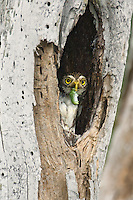 563990057 wild ferruginous pygmy owl glacidium brasillianum with prey in its beak stares out from a cavity nest in tamaulipas state in mexico