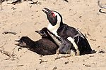 African Penguin And Two Chicks
