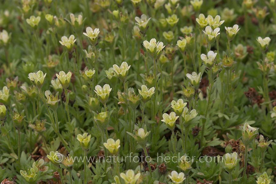 Polster-Steinbrech, Polster - Steinbrech, Saxifraga cespitosa ssp. uniflora, Tufted Saxifrage