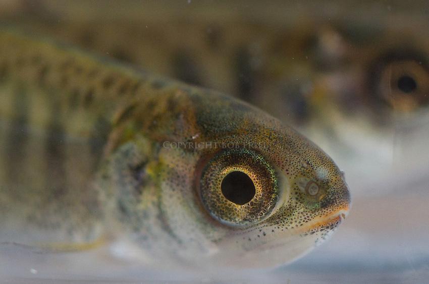 Chinook salmon fry.close ups, portraits and macro