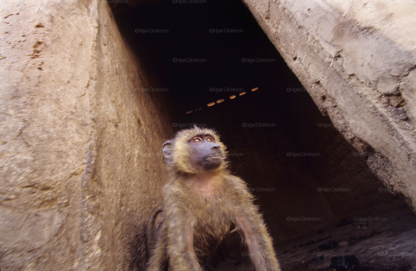 Chimp living in awful inhumane conditons..Husa Animist Muslim traveling circus with monkeys. In the Animist religion power is associated with fierce beasts and those who have contact with them. These men and their troop are often called upon for religious ceremonies. Animals are often caught and traded for their spiritual associations. The use of animals and animist beliefs goes contrar to Sharia law..The implementation of Islamic Sharia Law across the twelve northern states of Nigeria, centres upon Kano, the largest Muslim Husa city, under the feudal, political and economic rule of the Emir of Kano.  But 70% of the population live below the poverty line and have to survive how they can. Kano, Kano State, Northern Nigeria, Africa