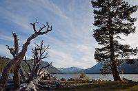 """Tree at Independence Lake, CA"" - This large tree and fallen tree were photographed at Independence Lake, California."
