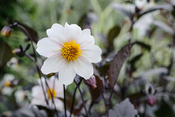 Dahlia 'Twynings after Eight'