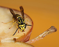 "Yellow jackets are sometimes mistakenly called ""bees"" or more often ""meat bees,"" as they are similar in size and appearance and both sting, but they are actually wasps."