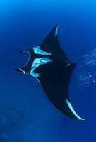 QT2385-D. Manta Ray (Manta birostris). Baja, Mexico, Pacific Ocean.<br /> Photo Copyright &copy; Brandon Cole. All rights reserved worldwide.  www.brandoncole.com