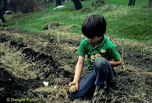 HS05-027z  Potato - child planting potatoes, Kennebec variety