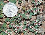 Rattlesnake weed, Chamaesyce albomarginata; also called Whitemargin Euphorbia, Euphorbia albomarginata. Wildrose Canyon, Death Valley National Park, California