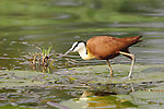 The African jacana (Actophilornis africanus) can look like it's walking on water when standing on lily pads and other plant matter, earning the nickname &quot;Jesus bird.&quot;<br /> <br /> Zambezi River, Zambezi National Park, Zimbabwe