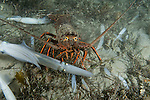 La Jolla Underwater Ecological Reserve, La Jolla, California; a California Rock Lobster (Panulirus interruptus) forages for food amongst common squid on the sea floor
