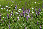 Fragrant Orchid, Gymnadenia conopsea, and daisies, Parkgate, Kent, wild flower meadow, downland areas throughout England.United Kingdom....