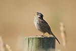 White-crowned sparrow, Zonotrichia leucophrys, Point Reyes National Seashore, California
