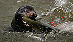 The sealions and seals have returned following the salmon to the base of Bonneville Dam where they are devouring up to 2% of the total run in the Columbia River...