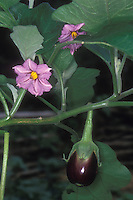 Eggplant Black Beauty growing on plant in garden with flowers and fruit