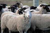 Genetic variation within a herd of sheep.<br /> <br /> Larger JPEG + TIFF images available by contacting use through our contact page at : www.photography4business.com