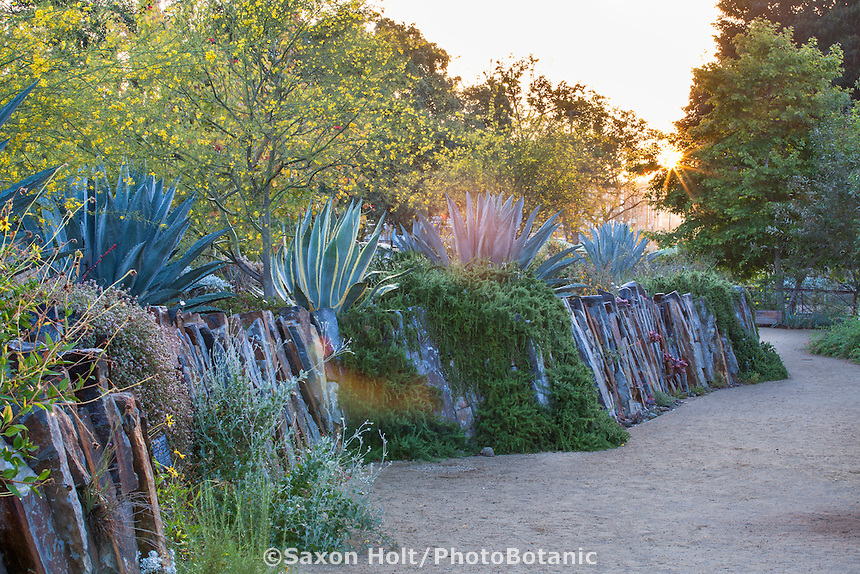 Sun shining through trees, Parkinsonia 'Desert Museum' on retaining wall with Agave americana at Los Angeles Natural History Museum