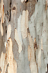 Close up of Eucalyptus Tree Bark, Sierra de Andujar Natural Park, Sierra Morena, Andalucia, Spain