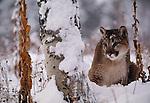 Cougar, Montana