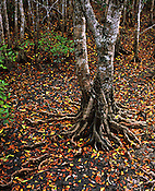 Fallen Leaves, Mangrove Forest<br />